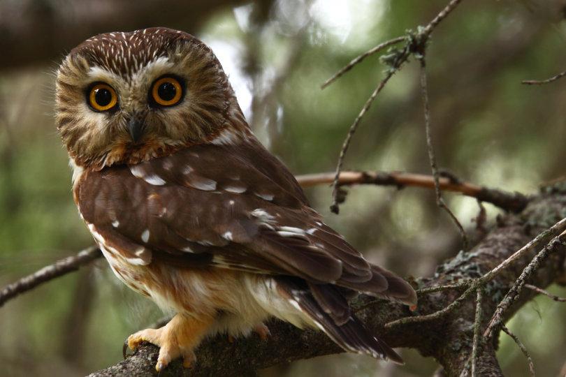 Cú vọ phương Bắc – Northern Saw-whet (Acadian Owl)
